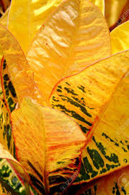 Croton Tropical Plant Yellow And Green Croton Petra Tropical Plant Background Stock