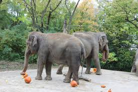 fiona and the elephants enjoy zoo pumpkin fun wvxu