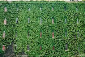 types of ivy plants outdoors darxxidecom