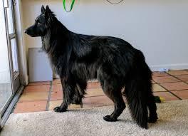 belgian sheepdog groenendael rescue yuna dog album on imgur