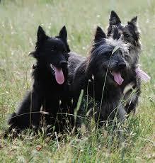belgian shepherd size three ancient italian dog breeds by alberto bertelli dicasamarziali