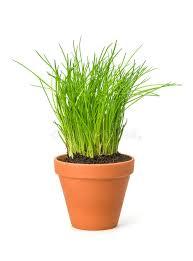 erba cipollina in vaso erba cipollina in un vaso di argilla fotografia stock immagine