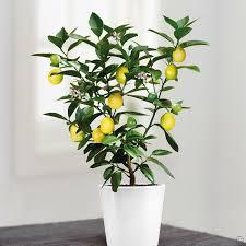 check out our fantastic selection of premium citrus fruit trees