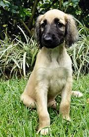 afghan hound breed 107 best ancient afghan hound images on pinterest afghans