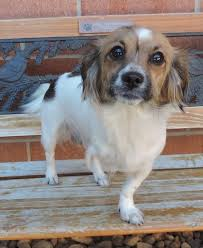 australian shepherd mixed with chihuahua 19 mixed breed dogs you won u0027t believe are real