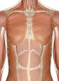 muscles of the chest and back