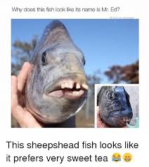 Mr Ed Meme - why does this fish look like its name is mr ed highon seaweed this
