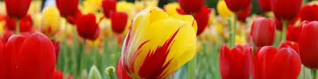 tulip bulbs u0026 tulips tulip flowers tulip flower bulbs