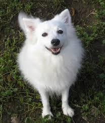 american eskimo dog nz adopt mason on american eskimo dog dog and australian cattle dog