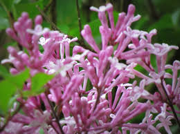 landscaping dazzling dwarf korean lilac for your landscaping