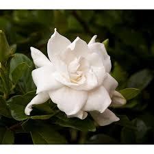 Gardenia Delivery Shop Monrovia 2 6 Quart White August Beauty Gardenia Flowering