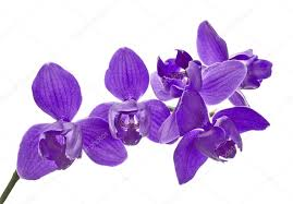 Purple Orchids Three Petals Isolated Purple Orchids U2014 Stock Photo Dr Pas 34873127