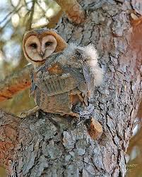North American Barn Owl Barn Owls All Too Happy To Be Your Rat Catchers Birds A Natural