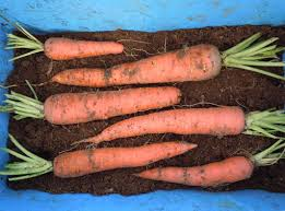 Freezing Root Vegetables - how to store carrots parsnips and other root vegetables farm in