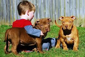 american pitbull terrier kennels in michigan hurricane bay kennels xl pitbulls and bullies