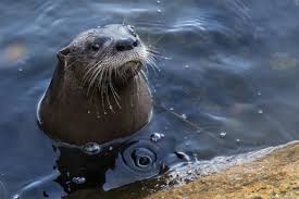 release into the wild was otter this world entertainment u0026 life