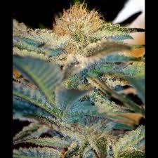 13 cosas que nunca esperas en casas americanas mohan ram fem seeds en tienda de semillas de marihuana jpg