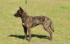 belgian shepherd exercise requirements dutch shepherd dog breed everything about dutch shepherd