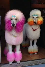 different styles of hair cuts for poodles 15 poodles with better hairstyles than you