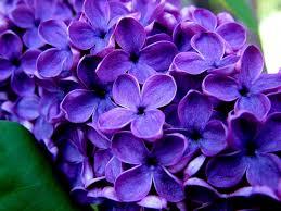 purple flowers pressed flower delights purple flowers pictures