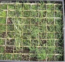 grass and bamboo growing ornamental grasses from seed 1 by donn