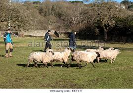 australian shepherd herding sheep herding sheep uk stock photos u0026 herding sheep uk stock images alamy