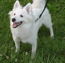 pictures of a american eskimo dog why does my american eskimo not look like the ones i see on other webs