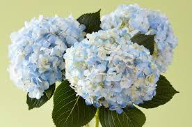 Hydrangea Flowers Common Poisonous Flowers When Ingested Petal Talk
