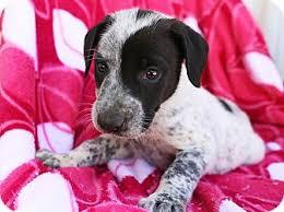 bluetick coonhound cost hagerstown md labrador retriever bluetick coonhound mix meet