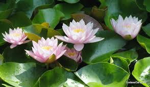 bring knowledge u0026 prosperity by keeping lotus plant at home