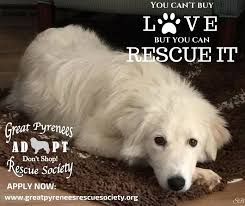 great pyrenees rescue provides wonderful dogs to good homes great pyrenees rescue society home