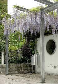 kletterpflanzen fã r balkon kletterpflanzen fur pergola metall pergola mit blauregen solche