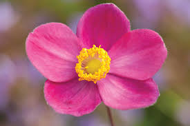 anemone u0027pretty lady diana u0027 rozanne and friends
