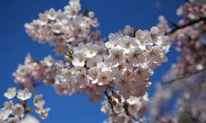 varieties of cherry blossom monthly web magazine