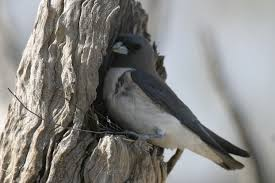 white breasted woodswallow birds in backyards