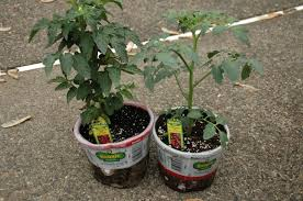 Bonnie Plants Patio Tomato Photography Damentions Transplanting Tomato Plants Into The Garden