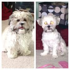 shichon haircuts 15 best jazmin images on pinterest creative ideas dog cat and