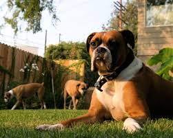 boxer dog yard art glt u0027s grow sharing our yard space with pets wglt