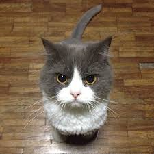 Angry Cat Meme - angry cat blank template imgflip