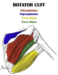 Anatomy Of Rotator Cuff Shoulder Anatomy All About The Shoulder Muscles