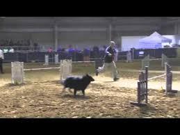 belgian sheepdog agility belgian groenendael show video funnydog tv