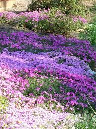 Backyard Ground Cover Options Best 25 Purple Ground Cover Ideas On Pinterest Ground Covers