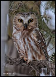 Owl Lovers by Top 5 Places To See Owls In Canada Explore Dk