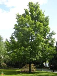 buy silver maple trees the planting tree