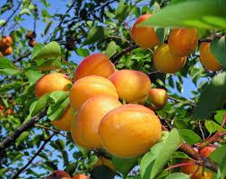 apricot trees archives ison u0027s nursery u0026 vineyard