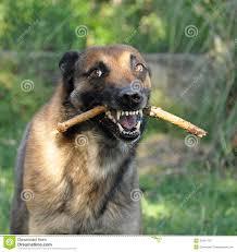 belgian shepherd quotes belgian german shepherd puppy free here