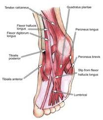 Foot Ligament Anatomy Ligaments Of The Foot Muscles Tendons U0026 Ligaments Of The Foot