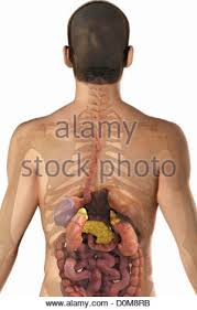 Human Anatomy Upper Body Human Anatomy Of The Upper Tract Of The Kidneys And Ureters Shown