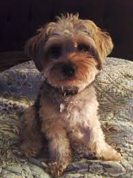 how to cut a yorkie poo s hair 20 best yorkie poo haircuts images on pinterest yorkie poo