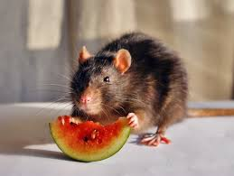What Do Bed Bugs Eat What Do Rats Eat Terminix